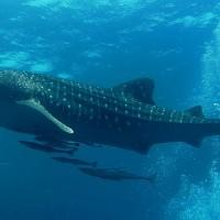海洋保育類動物名錄增列鯨鯊與鬼蝠魟屬 持有民眾應登記備查