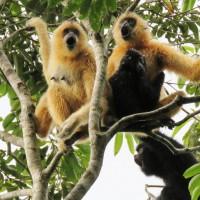 比大貓熊更需要保育 極危海南長臂猿數量近30隻