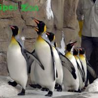 國王企鵝晨起健走練腳力 臺北動物園特製「防水鞋套」保護腳掌