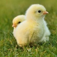 武漢肺炎疫情未歇 美國再爆沙門氏菌感染 美國CDC:疑與家禽有關