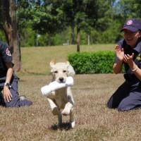 緝毒幼犬萌撻撻貼心主人愛 台灣關務署徵求寄養家庭