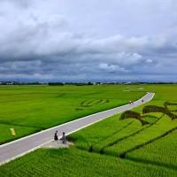 東台灣「宜蘭伯朗大道」稻穗成熟黃澄澄一片 最後觀賞期倒數計時中