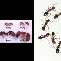 中國紅火蟻首度入侵日本橫濱港   發現20隻具繁殖力蟻后
