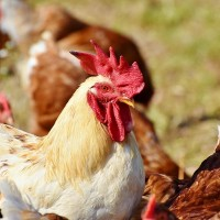 S. Taiwan farm culls 9,556 chickens infected with avian flu