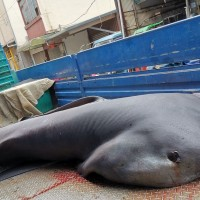 6 megamouth sharks caught off coast of Taiwan in 4 days