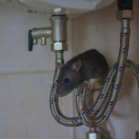 屏東爆發漢他病毒 創20年來台灣歷史新高! 患者住家、工作地抓到11隻老鼠