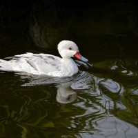 Tembusu virus emerges in Taiwan for first time at duck farm