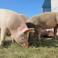 一疫未平一疫將起? 中國驚現新型豬流感病毒「具可傳人能力」
