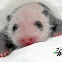 台北市立動物園:大熊貓寶寶發育快 「黑眼圈」越來越明顯