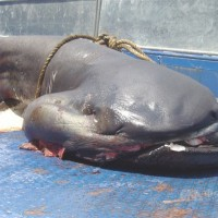 Taiwan set to ban fishing of elusive megamouth sharks