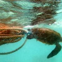 孟加拉海岸遭海洋垃圾入侵 160隻易危欖蠵龜獲救