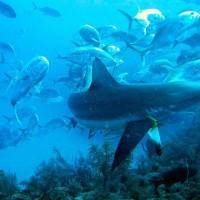 全球礁鯊數量調查 部分海域數量銳減或功能性滅絕