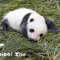 大熊貓「圓仔妹」今滿月 台北市立動物園推命名活動