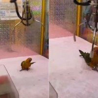 Video shows crane game player try to catch parrot in S. Taiwan