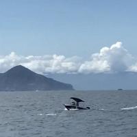 衝撞騷擾保育鯨豚涉違反野保法 海保署籲勿以身試法