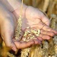 中國夏糧收購大減 主產區小麥少938萬噸、油菜籽少5.1萬噸
