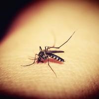 基因改造成滅蚊新招 美國佛州靠「增加蚊子殺蚊子」