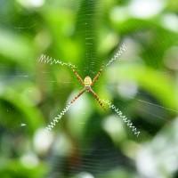 台灣有機茶生態調查 發現6新種蜘蛛