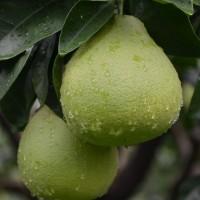 台灣文旦季到了!挑柚有撇步 台南區農業改良場報你知