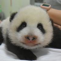 台北市立動物園大貓熊「圓寶」萌翻天    媽媽「圓圓」一招隱匿幼獸8個月行蹤