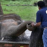 巴基斯坦「最寂寞大象」將被移轉到柬埔寨動物保護區