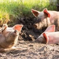 德國出現首例非洲豬瘟疫情 10日起攜豬肉製品回台灣最高罰100萬