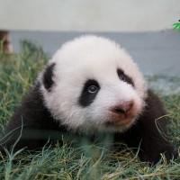 大熊貓「圓圓」待膩產房拖女兒外宿 台北市立動物園:上次颱風天還拖「圓仔」避難