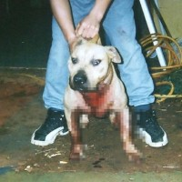 Taiwan mulls total ban on pit bulls