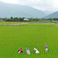 維護台灣良質米口碑 農委會提供農友雜草型紅米防範撇步