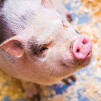Scientific American under fire for promoting Taiwan's new policy for US pork imports