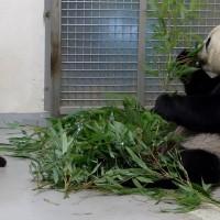 台北市動物園:大貓熊「圓寶」探索世界 歐亞水獺躲樹叢吃魚