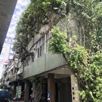 【夾縫中求生存】台灣彰化百年老榕樹穿過透天厝生長 枝幹延伸至天花板與廁所、蔚為奇觀