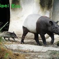 台北動物園馬來貘寶寶正式取名「貘豆」 即日起可戶外現身