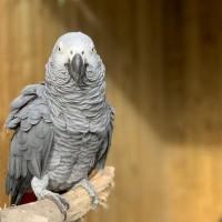 【好的不學】英國鸚鵡聚眾「飆髒話」園方無奈個別管束