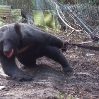 【命運多舛】小名「大胖公熊」的台灣黑熊中秋節受困陷阱 獲救後已可進食、情況穩定