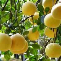 內行人呷白柚!台南區農業改良場三點要訣 教你挑台灣國產大白柚