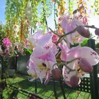 紐約台灣蘭花展連7年舉辦 疫情下療癒人心