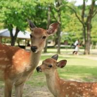 【自己的鹿自己救】日本研發「鹿紙」 奈良野鹿再不怕誤食