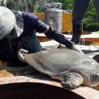 Endangered Asian giant softshell turtle dies at Taipei Zoo