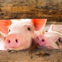 加拿大通報首例 人類感染豬流感病毒H1N2