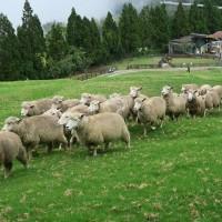 台灣綿羊秀遭動保團體控「殘忍」 清境農場承諾不再戲謔羊群