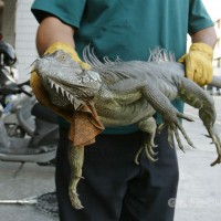 Eating green iguanas legal in Taiwan