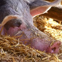 Flush with cash, Chinese hog producer builds world's largest pig farm