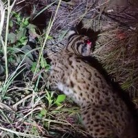 Young leopard cat saved after suspected car accident in central Taiwan