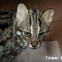 Leopard cat that escaped Taipei Zoo found after three weeks