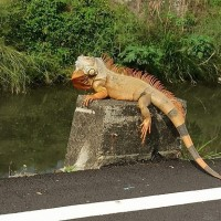 Taiwanese woman frightened by 'sunbathing' iguana