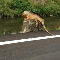 台灣綠鬣蜥快速繁殖 屏東拍到「做日光浴的恐龍」•嘉義月捉逾200隻