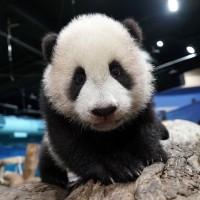大貓熊寶寶「圓寶」2021年元月見客 台北市動物園啟動見面會特訓