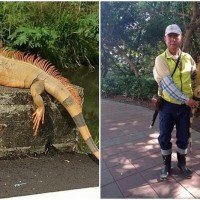 1.5 meter 'Iguanazilla' captured in southern Taiwan
