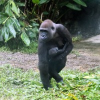 Dutch office in Taiwan wins race to name baby gorilla